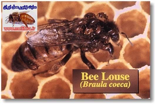 شپش زنبورعسل
