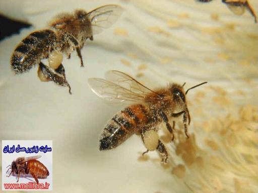 گرده افشانی زنبورعسل
