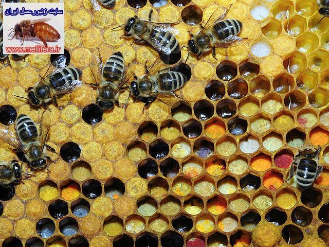 گرده گل و تغذيه زمستاني زنبورعسل