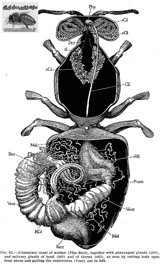 شكم زنبورعسل