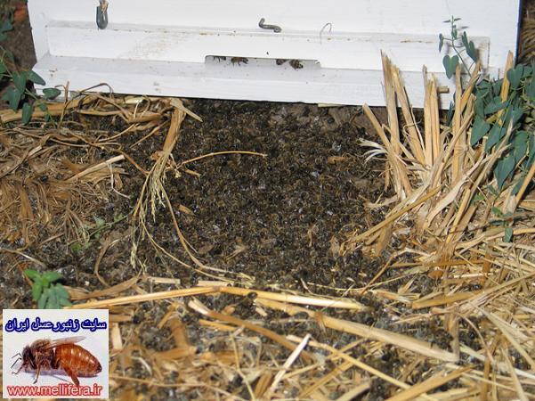 سمپاشی و مسمومیت در زنبورعسل