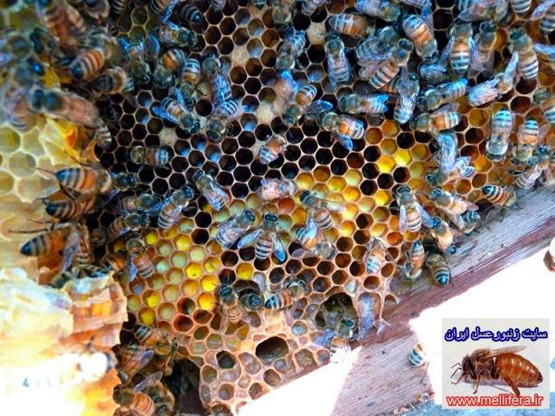 شهد زنبورعسل