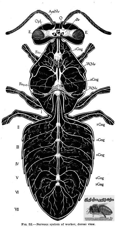دستگاه عصبي زنبورعسل