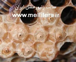 زنبورعسل سرانا