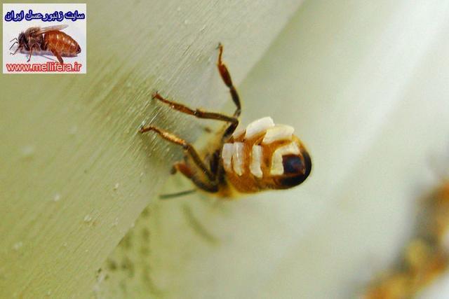 غدد مومي زنبورعسل
