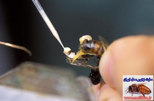 گرفتن اسپرم از زنبورنر زنبور عسل