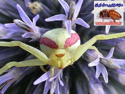 عنكبوت باغي