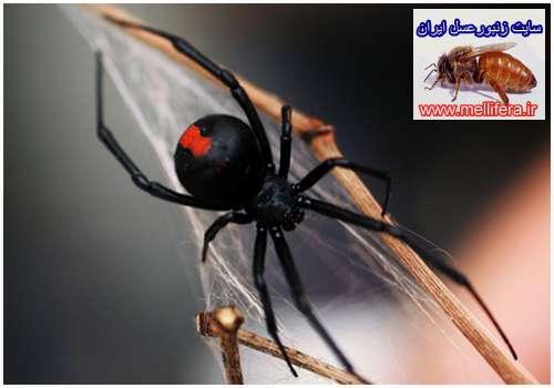 عنكبوتهاي كروي