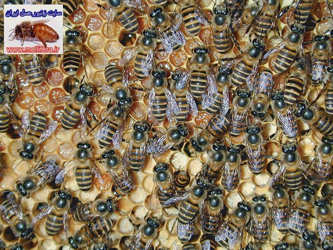 گونه زنبور عسل هندی یا سنارا_apis indica &apis cerana