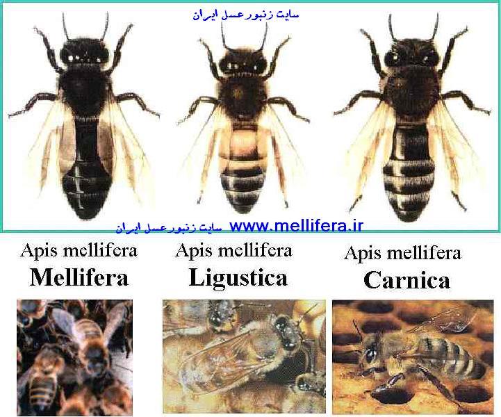 نژاد زنبورعسل