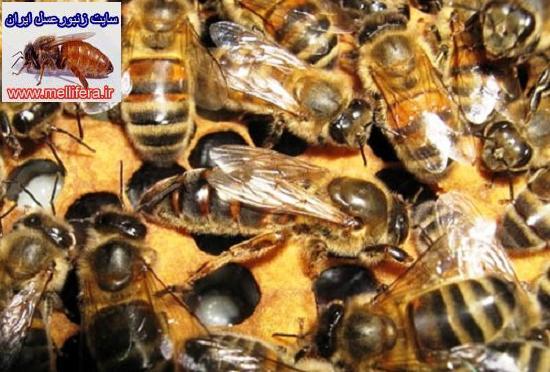 زنبورعسل نو تركيب هيبريد  bakfast