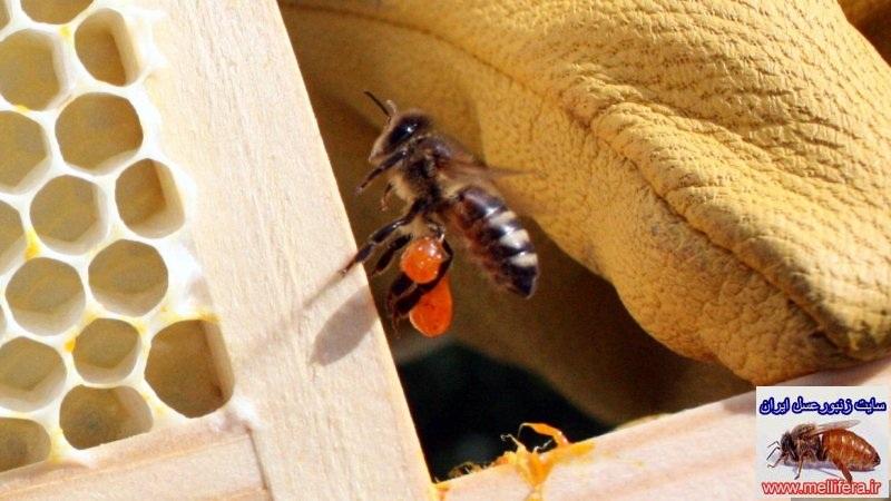 بره موم در زنبورعسل