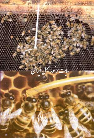 فرومون ملكه زنبورعسل