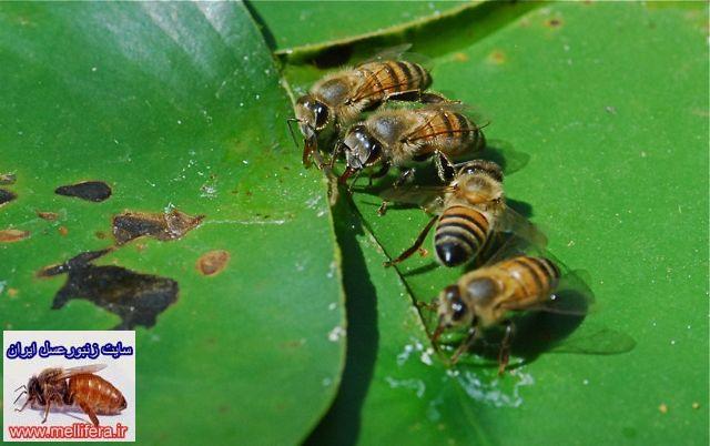 اب در زندگي زنبورعسل