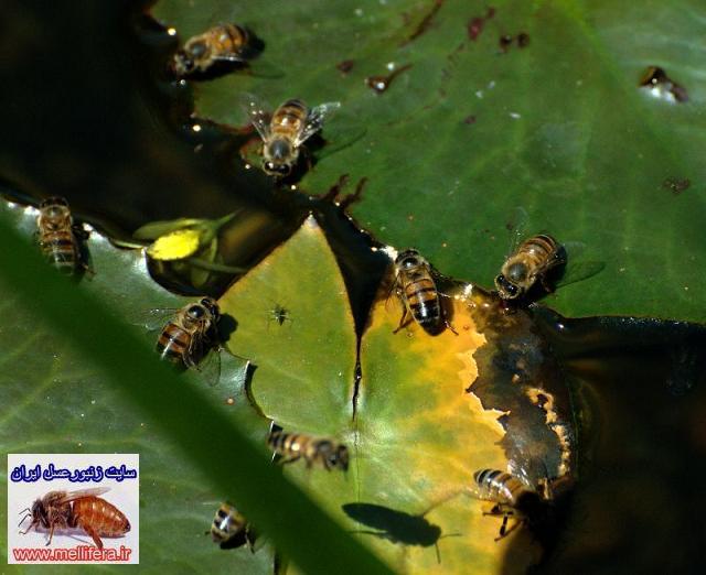 جمع اوري اب توسط زنبورعسل