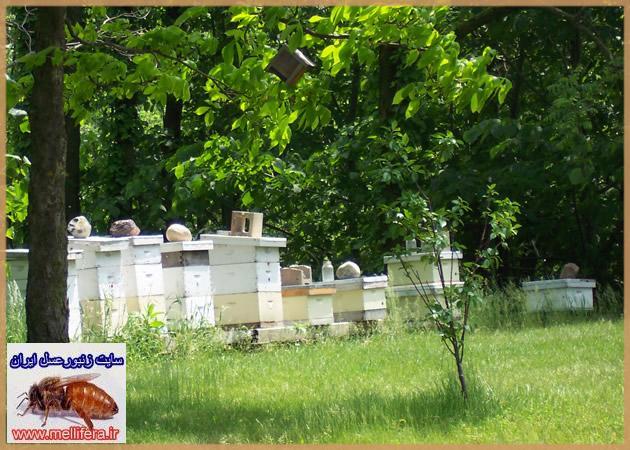 موقعيت كلني در زنبورداري