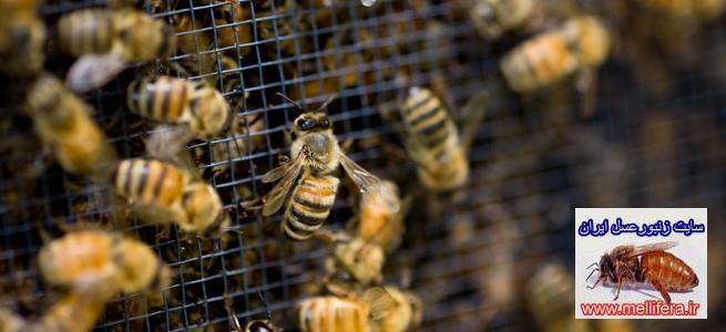 زنبورعسل نوتركيب بوك فست(bukfast)