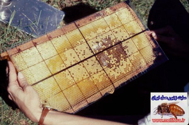 كاهش جمعيت  زنبورعسل