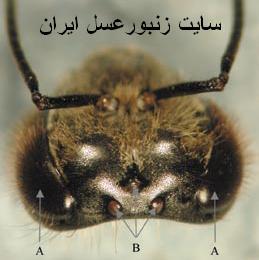چشمها وشاخك زنبورعسل
