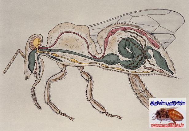 دستگاه گوارش زنبورعسل