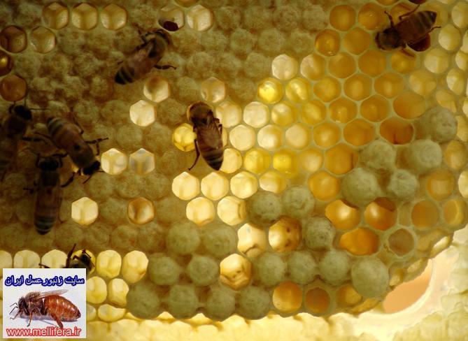 سلول زنبورعسل نر