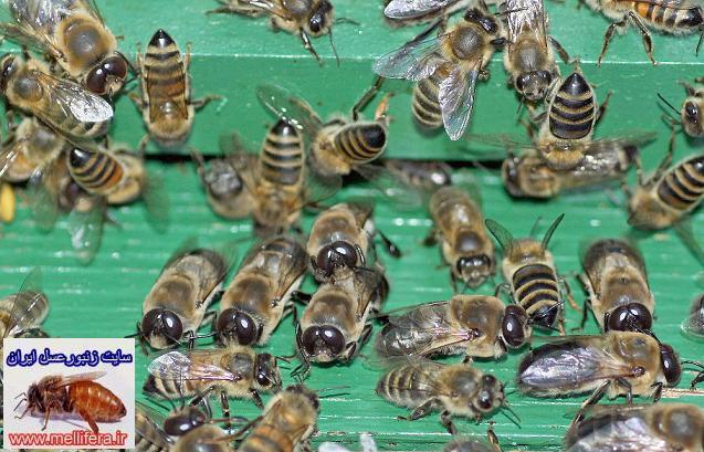 زنبورعسل نر شروع زنبورداري