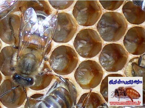 تغذيه تحريكي ملكه زنبورعسل