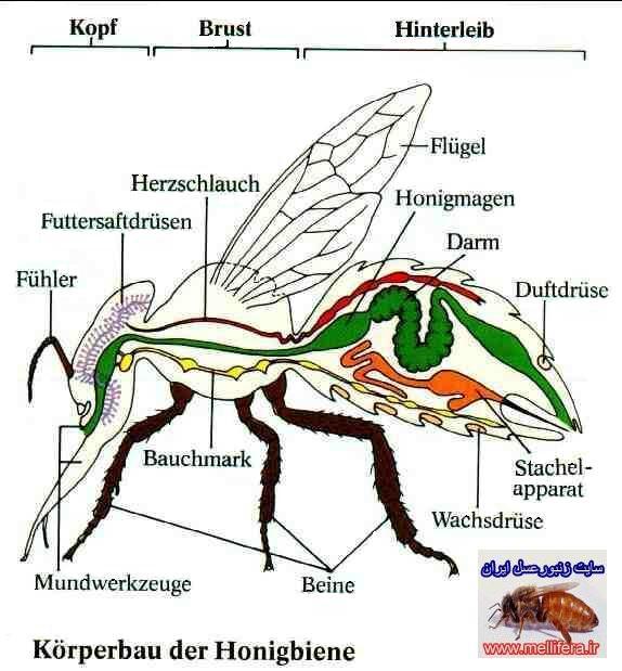 دستگاه گردش خون زنبورعسل