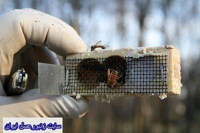 قفس معرفي ملكه زنبورعسل