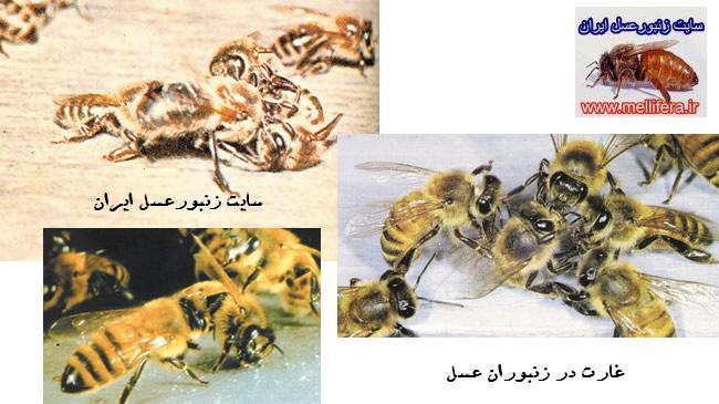 غارت در زنبوران عسل