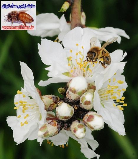 گرده افشاني زنبورعسل