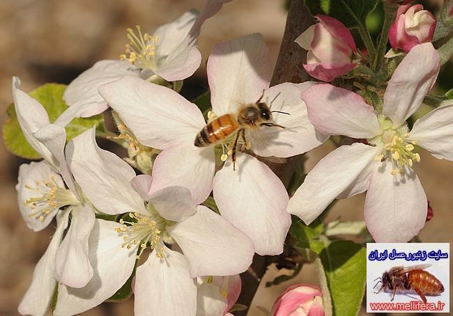 نحوه گرده افشاني توسط زنبورعسل