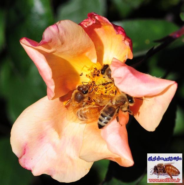 انواع مختلف گرده افشاني زنبور عسل