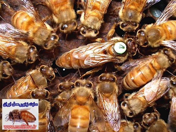 حس بويايي زنبورعسل