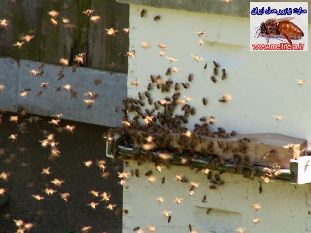 حس جهت يابي زنبورعسل