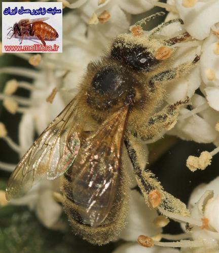 پروتئين گرده زنبورعسل