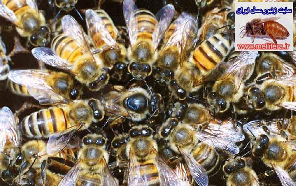 ملكه زنبورعسل