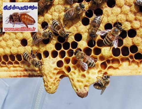 شاخون ملكه زنبورعسل