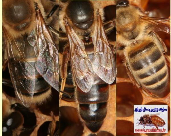 زنبورعسل نر و ملكه و كارگر زنبورعسل