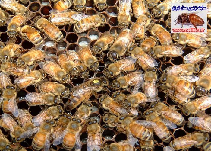 تخم گذاري ملكه زنبورعسل