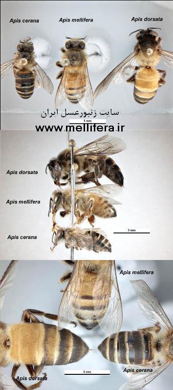 نژادهاي مهم زنبورعسل