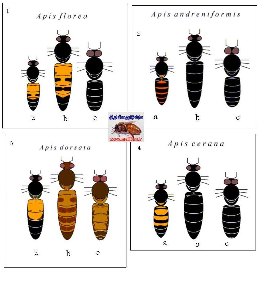 نژادهاي زنبورعسل
