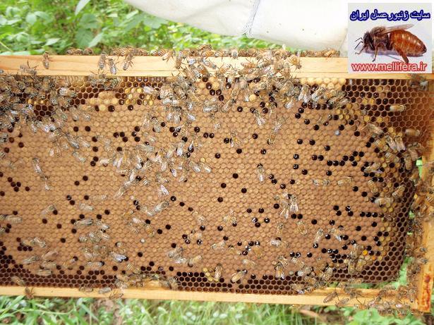 تقويت كندوهاي متوسط زنبورعسل