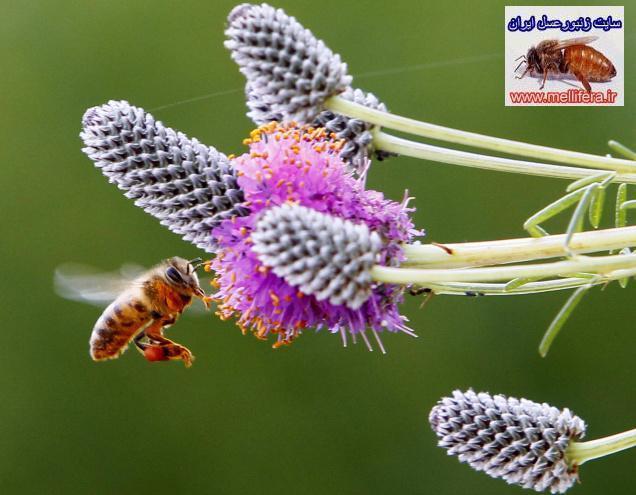 شهد و گرده گل در زنبورعسل