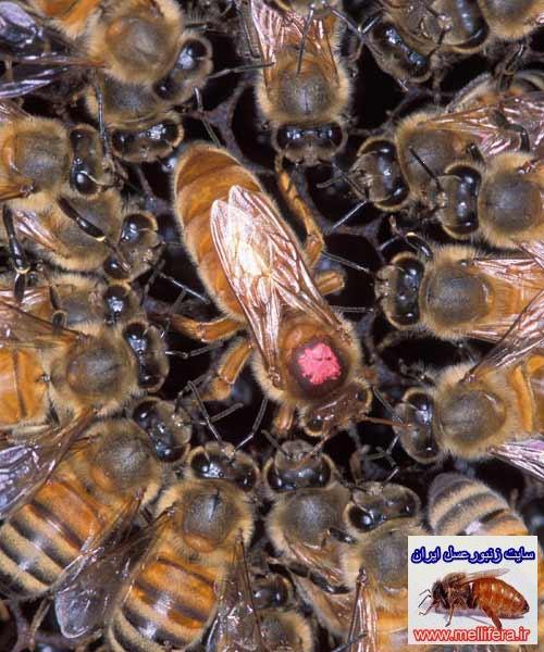 ملكه زنبور عسل