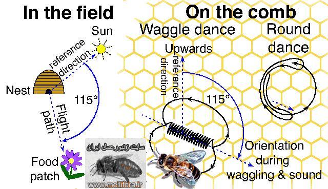 مكالمه و رقصهاي زنبور عسل در داخل كندو