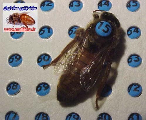 شماره ملكه زنبورعسل
