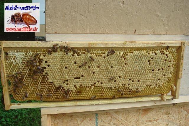 تخمريزي ملكه زنبورعسل