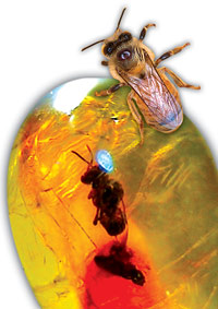 فسيل زنبورعسل در داخل صمغ