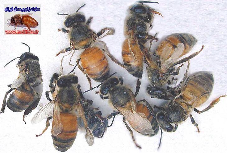 زنبوران بالغ نابهنجار زنبورعسل